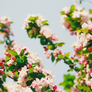 PRUNUS (Cerisier)