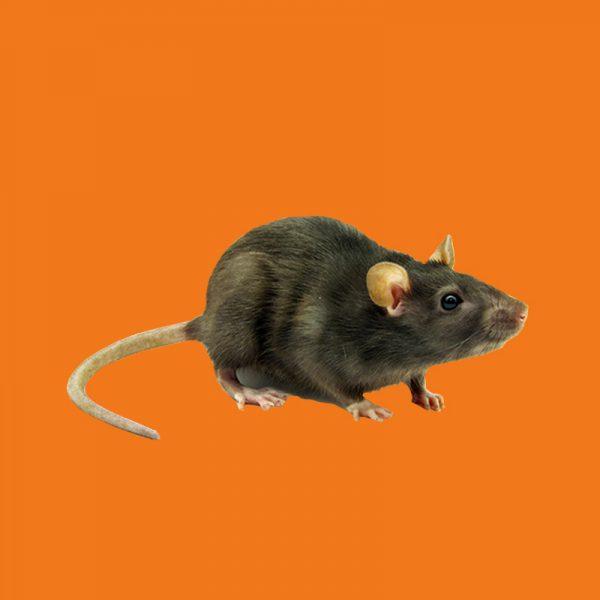 cjb-extermination-commercial-souris-rats